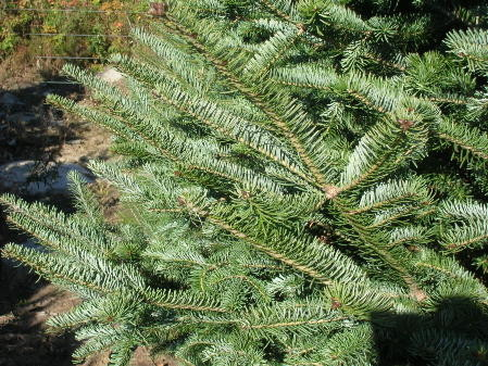 Abies balsama cook blue new hampshire seed source hardy to 40 zone 3